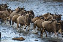 Africa, Kenya, Masai Mara GR, Mara Triangle, White-bearded W... by Danita Delimont