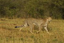 Cheetah on the move, Maasai Mara wildlife Reserve, Kenya. by Danita Delimont