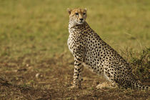Cheetah on look out Maasai Mara wildlife Reserve, Kenya. by Danita Delimont