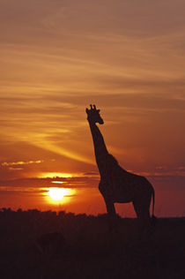 Giraffe at sunrise, Maasai Mara wildlife Reserve, Kenya. by Danita Delimont
