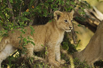 Lion cub in the bush, Maasai Mara wildlife Reserve, Kenya. by Danita Delimont