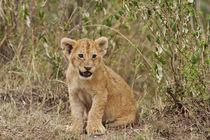 Lion cub Maasai Mara wildlife Reserve, Kenya. by Danita Delimont