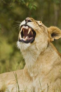 Lioness yawning, Maasai Mara wildlife Reserve, Kenya. von Danita Delimont