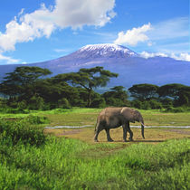 A lone African elephant walks in from of Mt by Danita Delimont