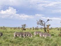 Grevy's Zebra, Kenya by Danita Delimont