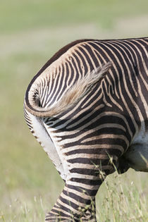 Grevy's Zebra, Kenya von Danita Delimont