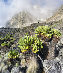 Giant Groundsel or Dendrosenecio,Kenya von Danita Delimont