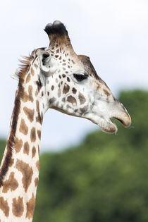 Giraffe, Kenya von Danita Delimont