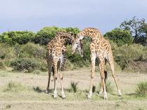 Giraffe bulls necking, Kenya by Danita Delimont