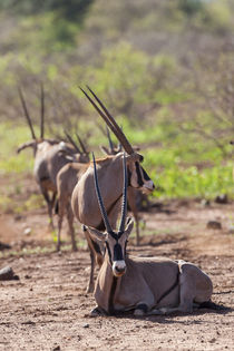 Gemsbok also called Oryx in Tsavo West NP von Danita Delimont