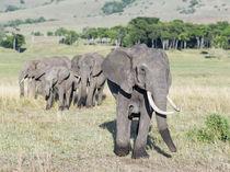 African bush elephant Kenya von Danita Delimont