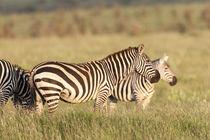 Plains zebra, Kenya von Danita Delimont