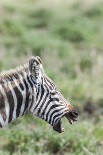 Plains zebra, Kenya by Danita Delimont