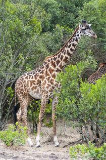 Giraffe, Maasai Mara National Reserve, Kenya. by Danita Delimont