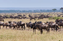 Herd of wildebeest, Maasai Mara National Reserve, Kenya. by Danita Delimont