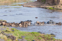 Herd of blue wildebeest crossing the Mara River, Maasai Mara... by Danita Delimont