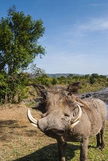 Warthog, Maasai Mara National Reserve, Kenya. by Danita Delimont