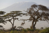 Acacia tree, Mt Kilimanjaro, Amboseli Nat Park, Kenya by Danita Delimont