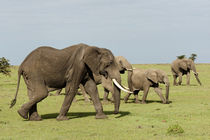 African Elephant, Maasai Mara, Kenya. by Danita Delimont