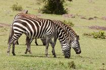 Common Zebra, Maasai Mara, Kenya. by Danita Delimont