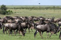 Wildebeest, Maasai Mara, Kenya. by Danita Delimont