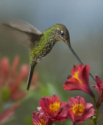 Sword-billed hummingbird drinking nectar. by Danita Delimont