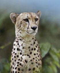 Cheetah, Masai Mara, Kenya, Africa von Danita Delimont