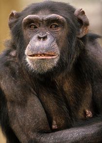 Chimpanzee portrait, Kenya, Africa by Danita Delimont