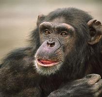 Chimpanzee headshot, Kenya, Africa von Danita Delimont