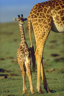 Giraffe Calf standing next to its mother, Kenya, Africa by Danita Delimont