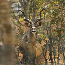 Greater Kudu, Kenya, Africa by Danita Delimont