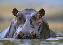 Hippopotamus, Kenya, Africa von Danita Delimont