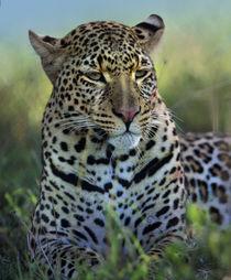 Leopard portrait, Kenya, Africa by Danita Delimont