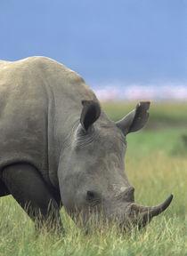 White rhinoceros, Kenya, Africa by Danita Delimont