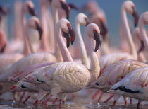 Group of Lesser flamingos, Kenya, Africa von Danita Delimont