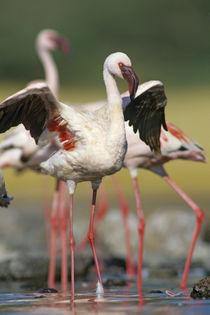 Lesser flamingo stretching, Kenya, Africa von Danita Delimont