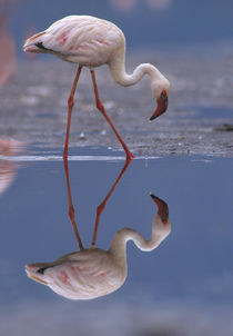 Lesser flamingo and its reflection, Kenya, Africa by Danita Delimont