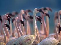 Lesser Flamingos flock, Kenya, Africa von Danita Delimont
