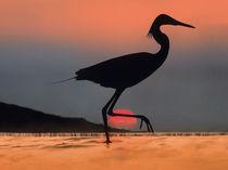 Egret, Kenya, Africa, summer sunsets von Danita Delimont