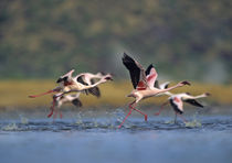 Lesser flamingos prepare to take off, Kenya, Africa by Danita Delimont