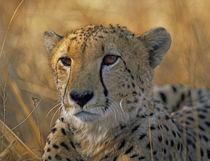 Cheetah, Kenya, Africa von Danita Delimont