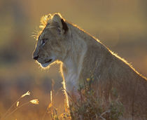 African Lion cub in the golden light, Kenya, Africa von Danita Delimont