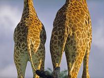 Masai Giraffes behinds, Kenya, Africa by Danita Delimont