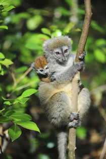 Madagascar, Andasibe, Ile Aux Lemuriens, mother and baby end... von Danita Delimont