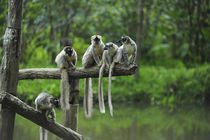 Madagascar, Andasibe, Ile Aux Lemuriens, group of Verreaux's... by Danita Delimont
