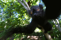 Black Lemur, Madagascar by Danita Delimont