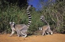 Ring-tailed Lemurs, Berenty, Toliara, Madagascar. by Danita Delimont