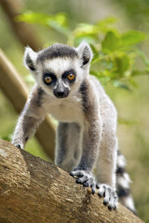 Baby ring-tailed lemur in the Anja private community reserve... by Danita Delimont