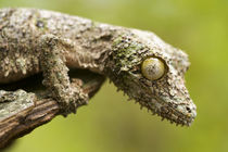 Mossy leaf-tailed gecko on a piece of bark in eastern Madagascar. by Danita Delimont