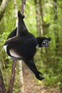 Indri hanging on a branch, Pangalanes Canal, Madagascar by Danita Delimont